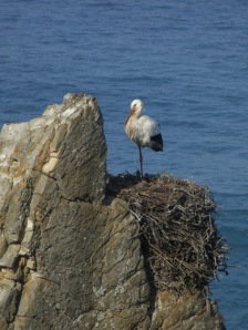Stork nesting on the cliffs at Cabo Sardao