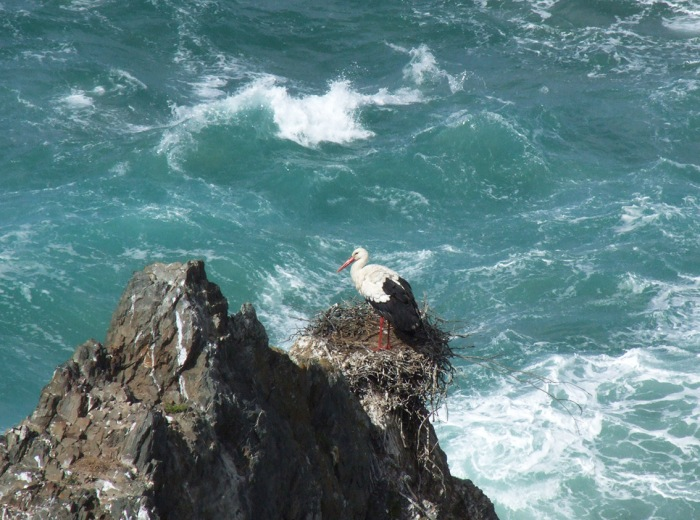 Stork on the cliffs at Cabo Sardao